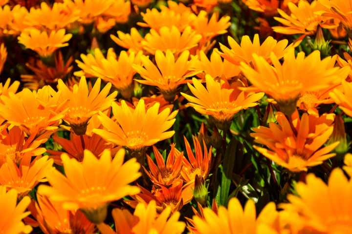 close up photo of yellow african daisies