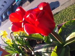 Tulpen in der Morgensonne auf dem Balkon