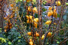 Auspicious Chinese New Year fruit tree known as Solanum mammosum.