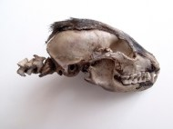 Super-Stratum no.3. A found badger's skull covered entirely in oil paint (its own image).15 x 8 x 6 cm, 2012