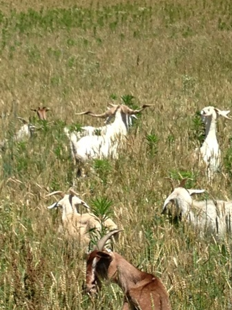 Sassafras Valley Ranch | South Poll Cattle - Hair Sheep & Goats