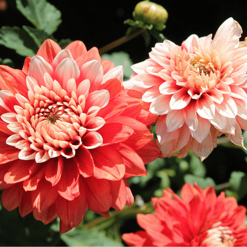 Design Your Dahlia Cut Garden Simple Steps For Huge Beautiful