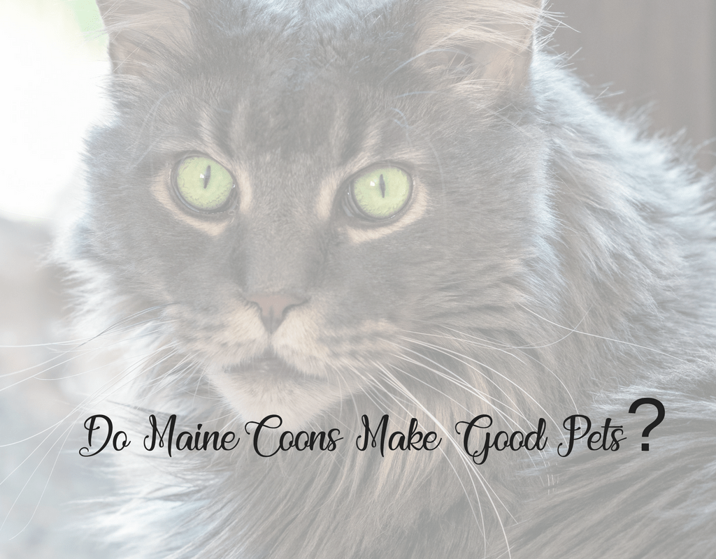 do maine coons make good pets