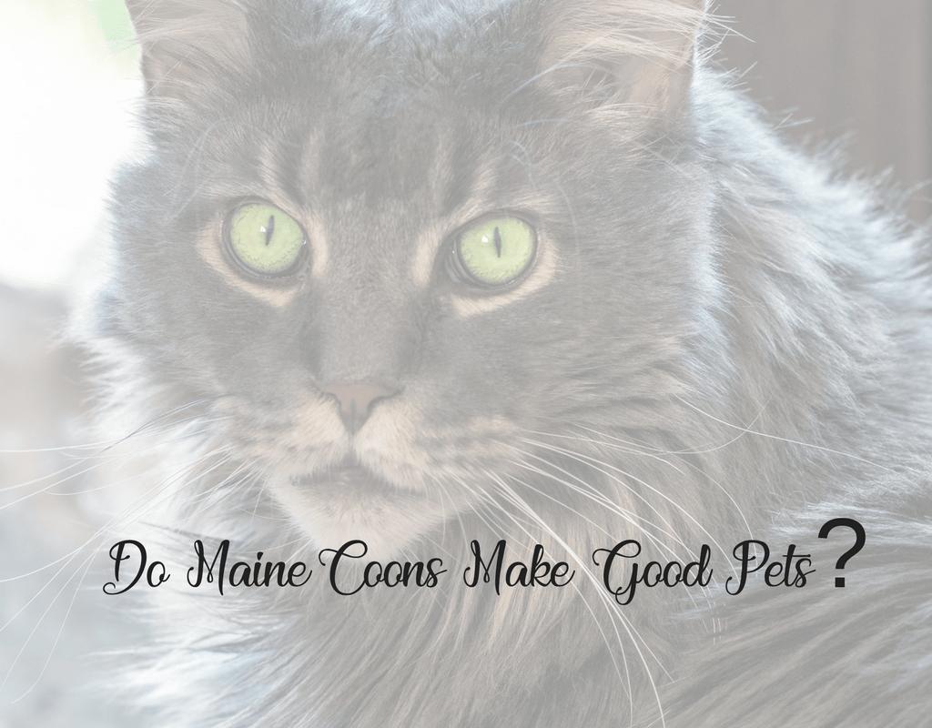 Do Maine Coon Cats Make Good Pets Sassy Koonz