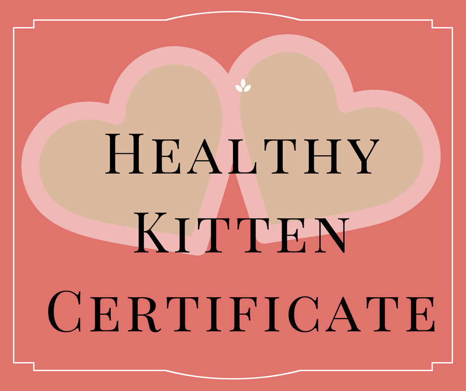 healthy-maine-coon-kittens-florida