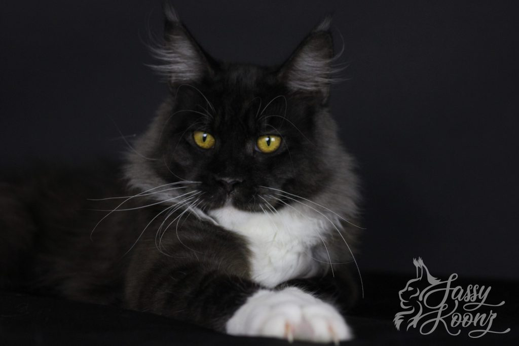 black smoke maine coon for sale