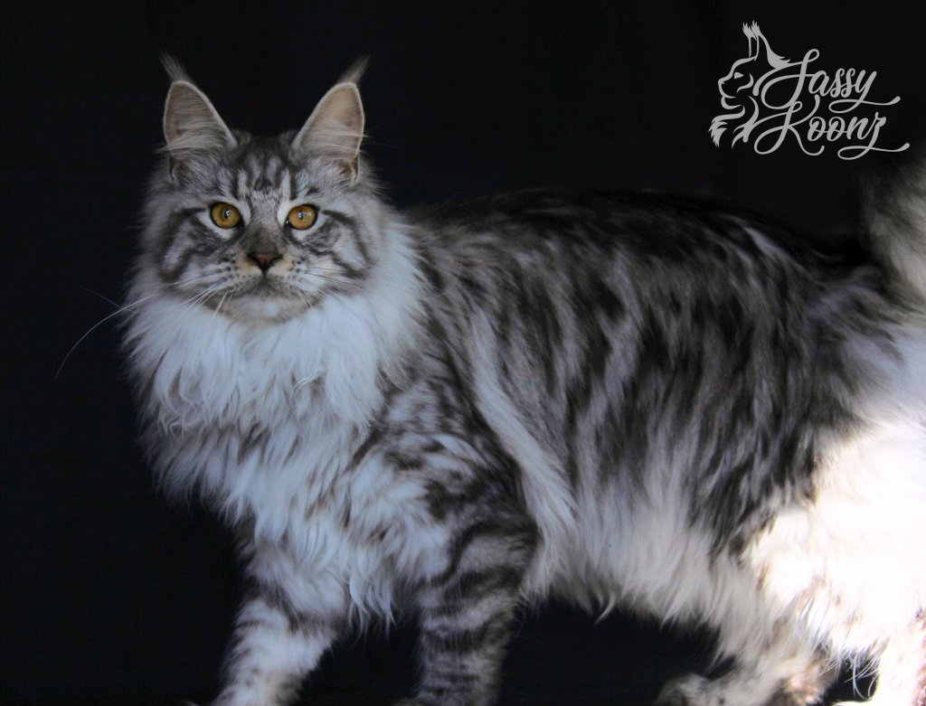 Black Silver Mackeral Maine Coon