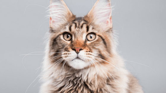 Maine Coon Breeders – How to Choose the Best One