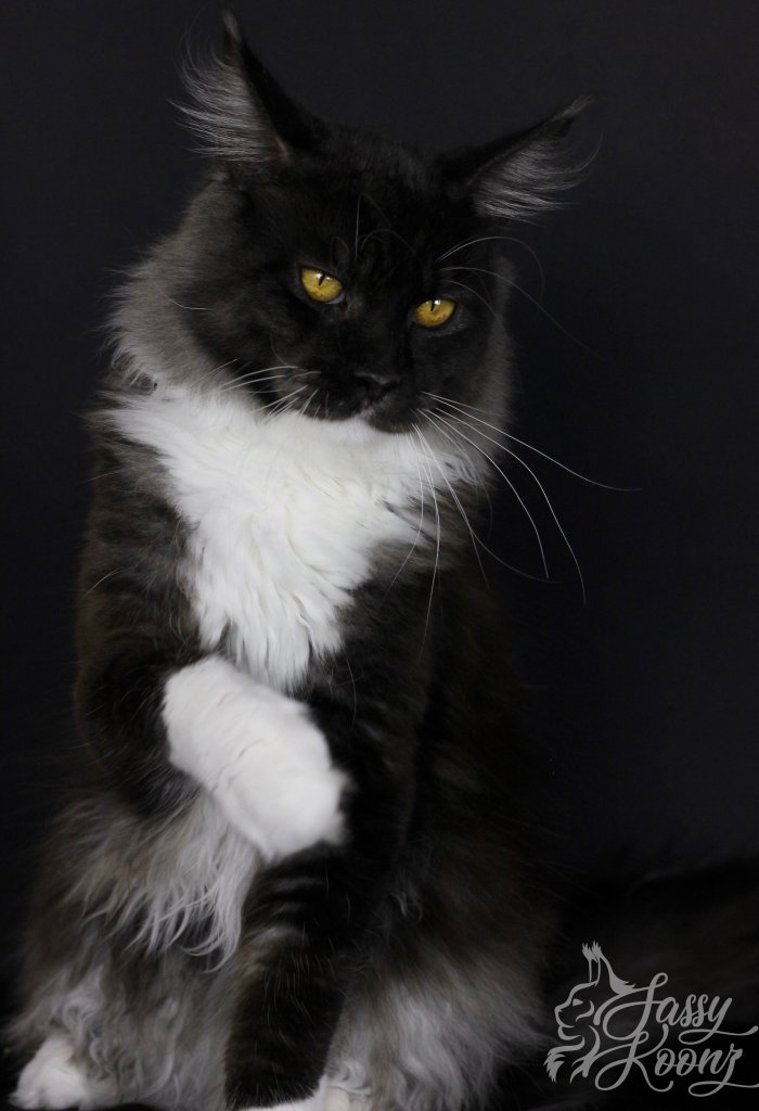 black smoke white maine coon