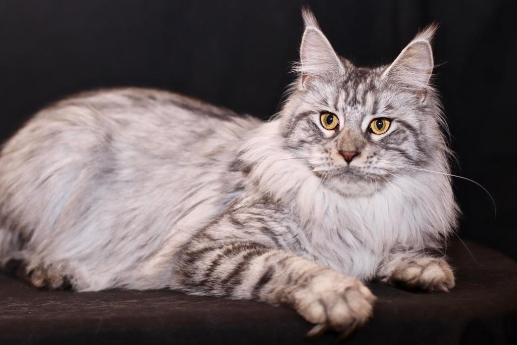 black silver female Maine Coon
