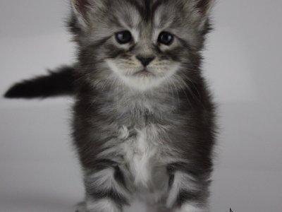 black silver tabby Maine coon kitten
