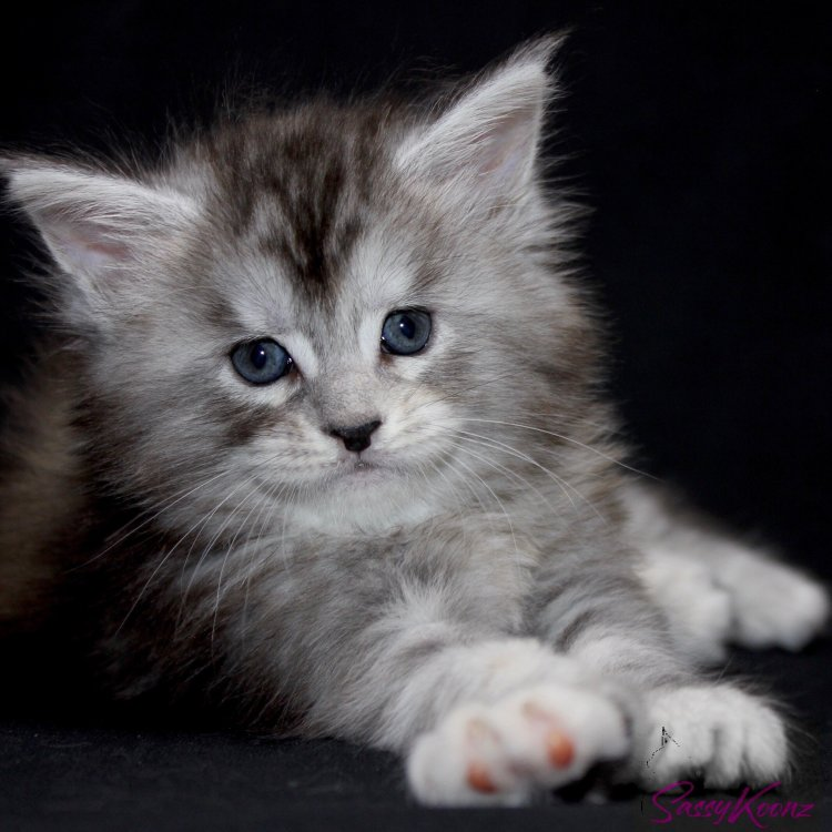 Maine Coon kittens Florida