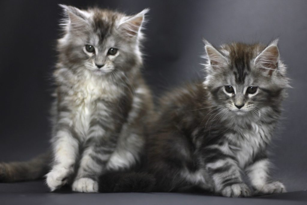 maine coon sisters