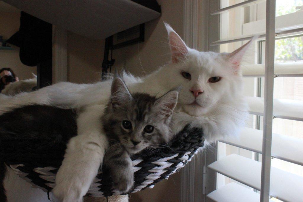 maine Coons are social