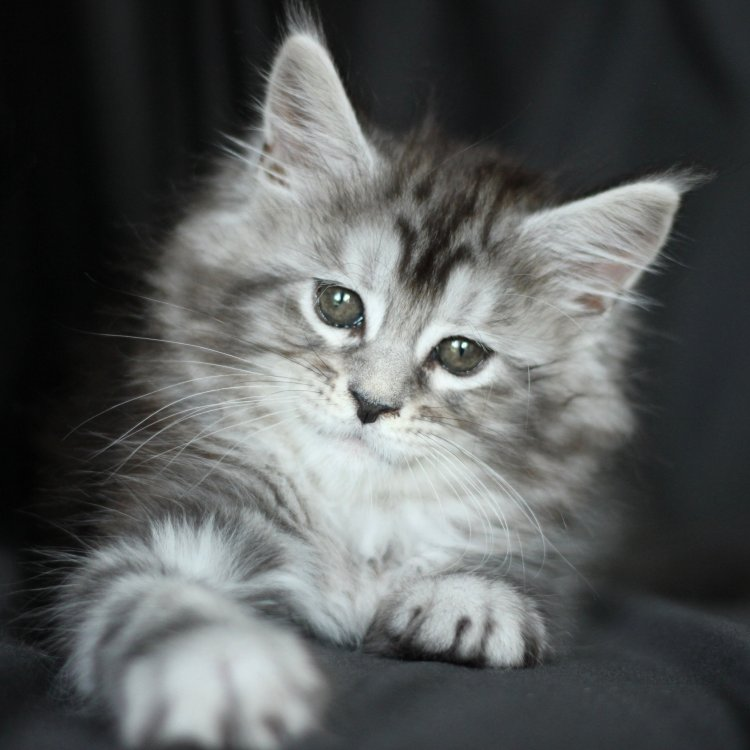 maine coon kitten for sale
