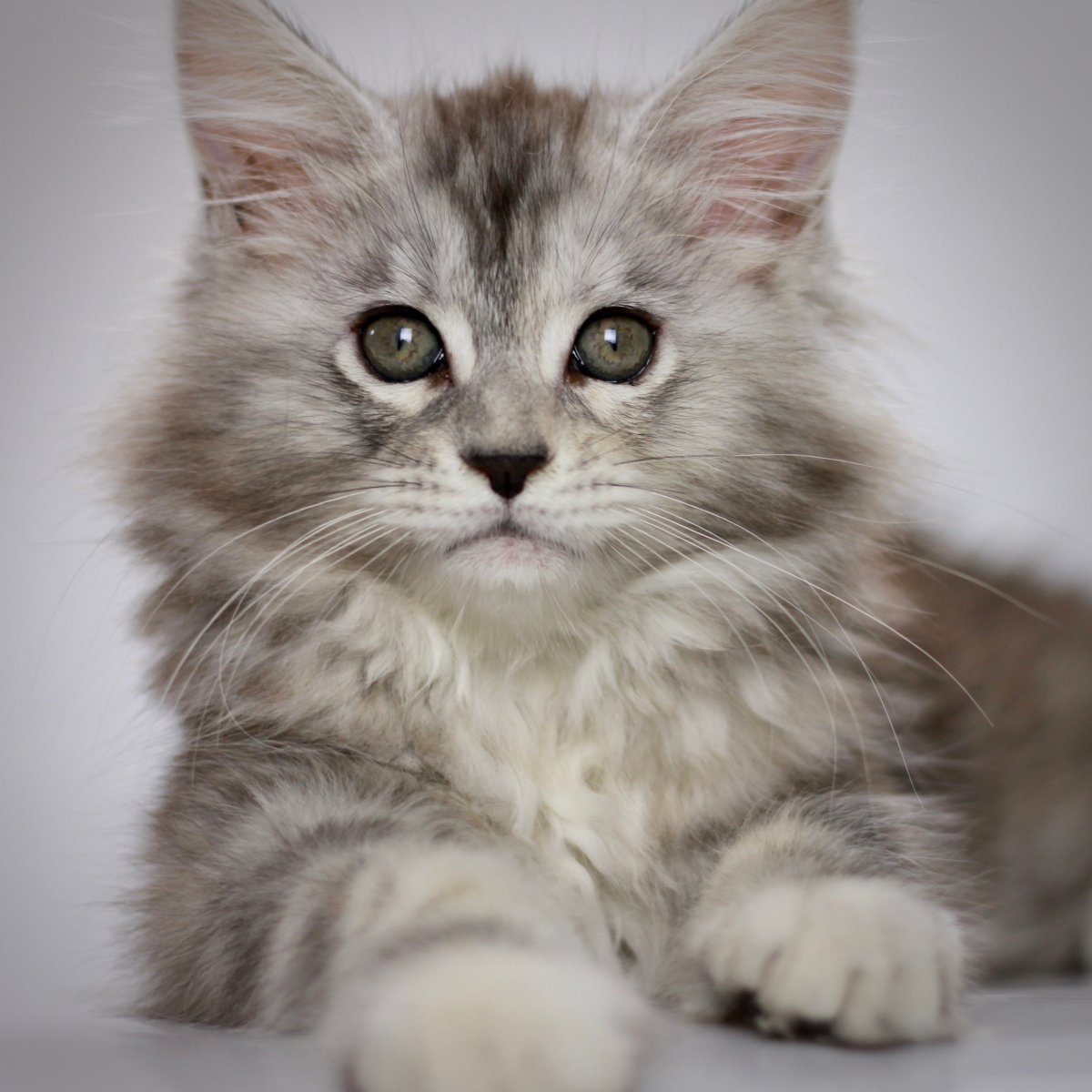 maine coon kittens for sale in florida