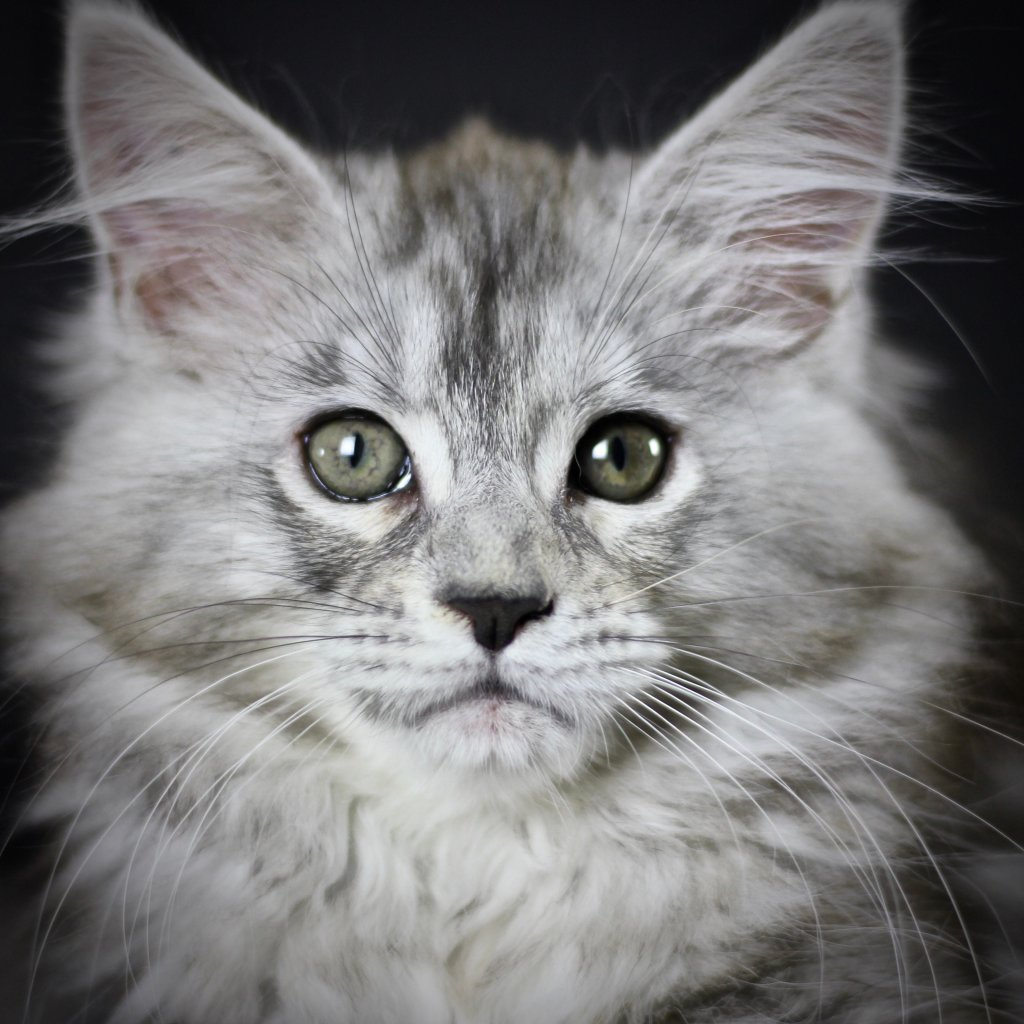 maine coon kittensfor sale