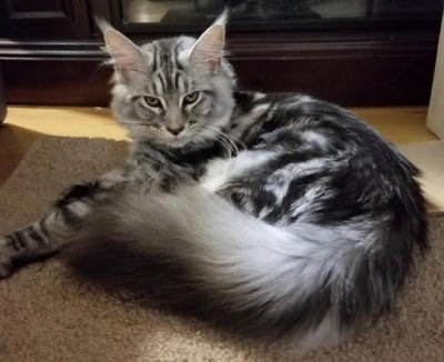 maine coon cat black silver