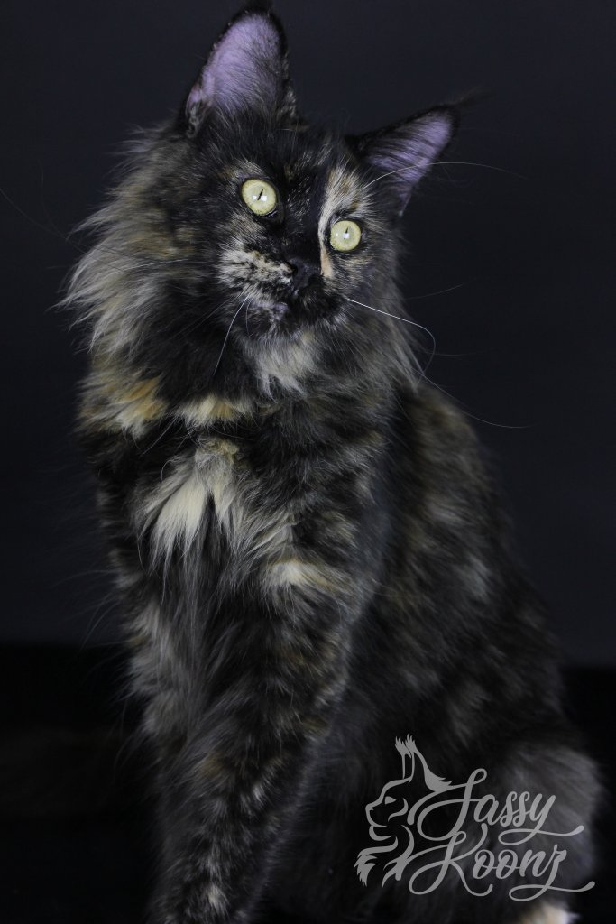 maine coon turtle