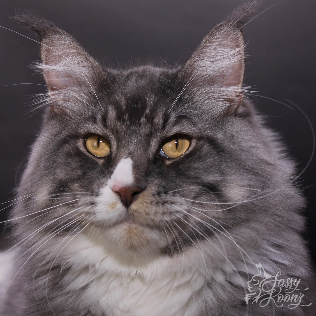 blue silver tabby white maine coon