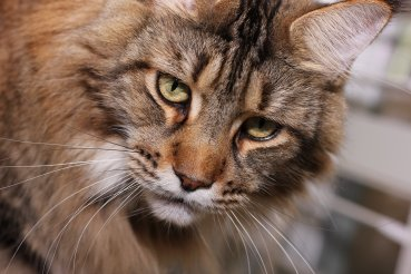 brown classic tabby maine coon