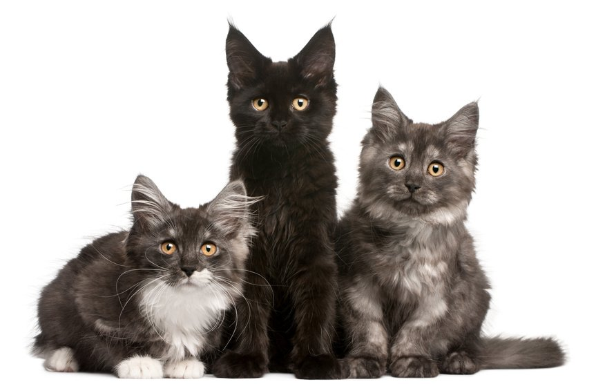 Should I Choose a Male or Female Maine Coon?