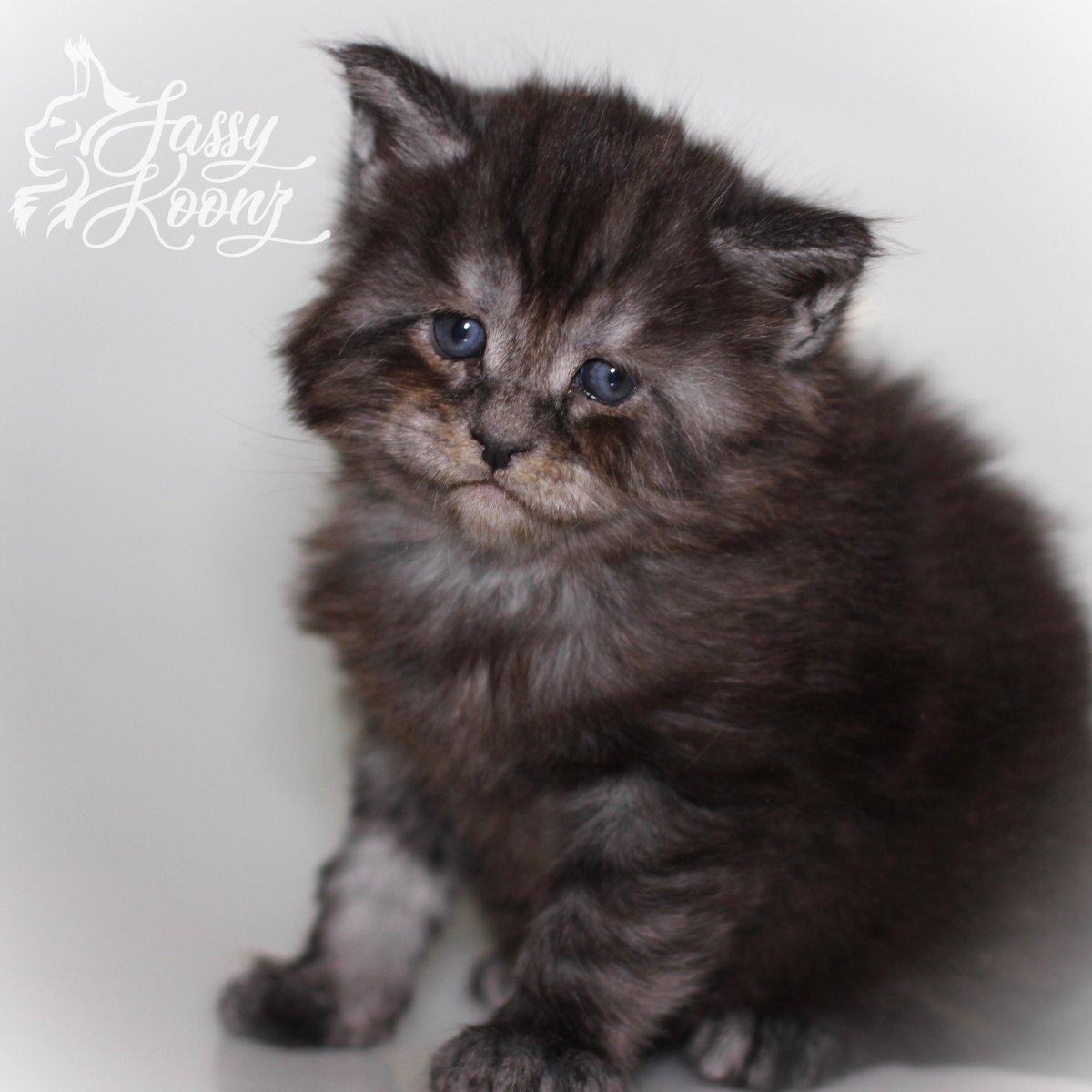 black smoke maine coon kitten