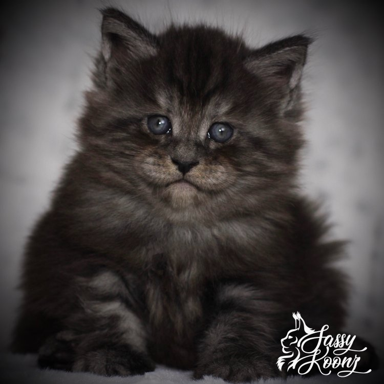 black smoke maine coon kittens for sale