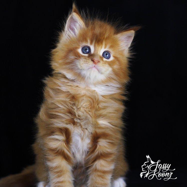 orange maine coon kitten