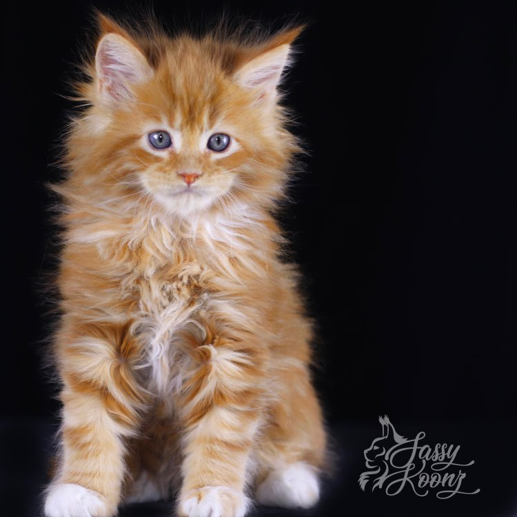 maine coon kitten for sale florida