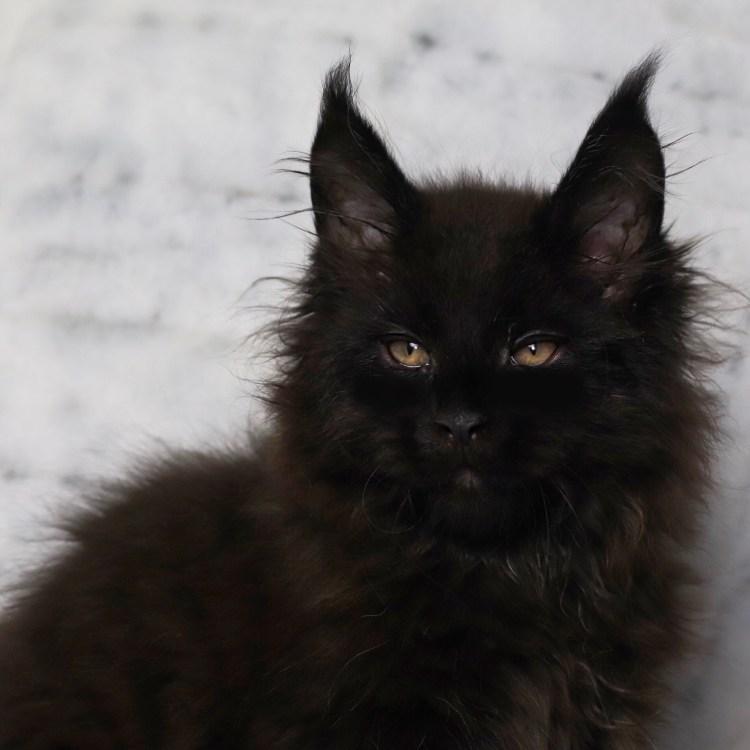 black maine coon kitten