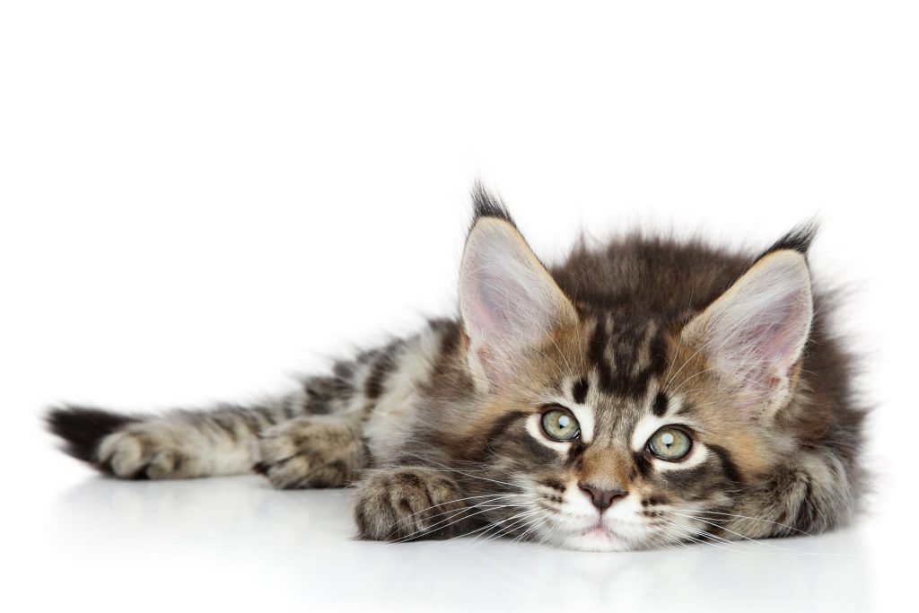 maine coon kitten