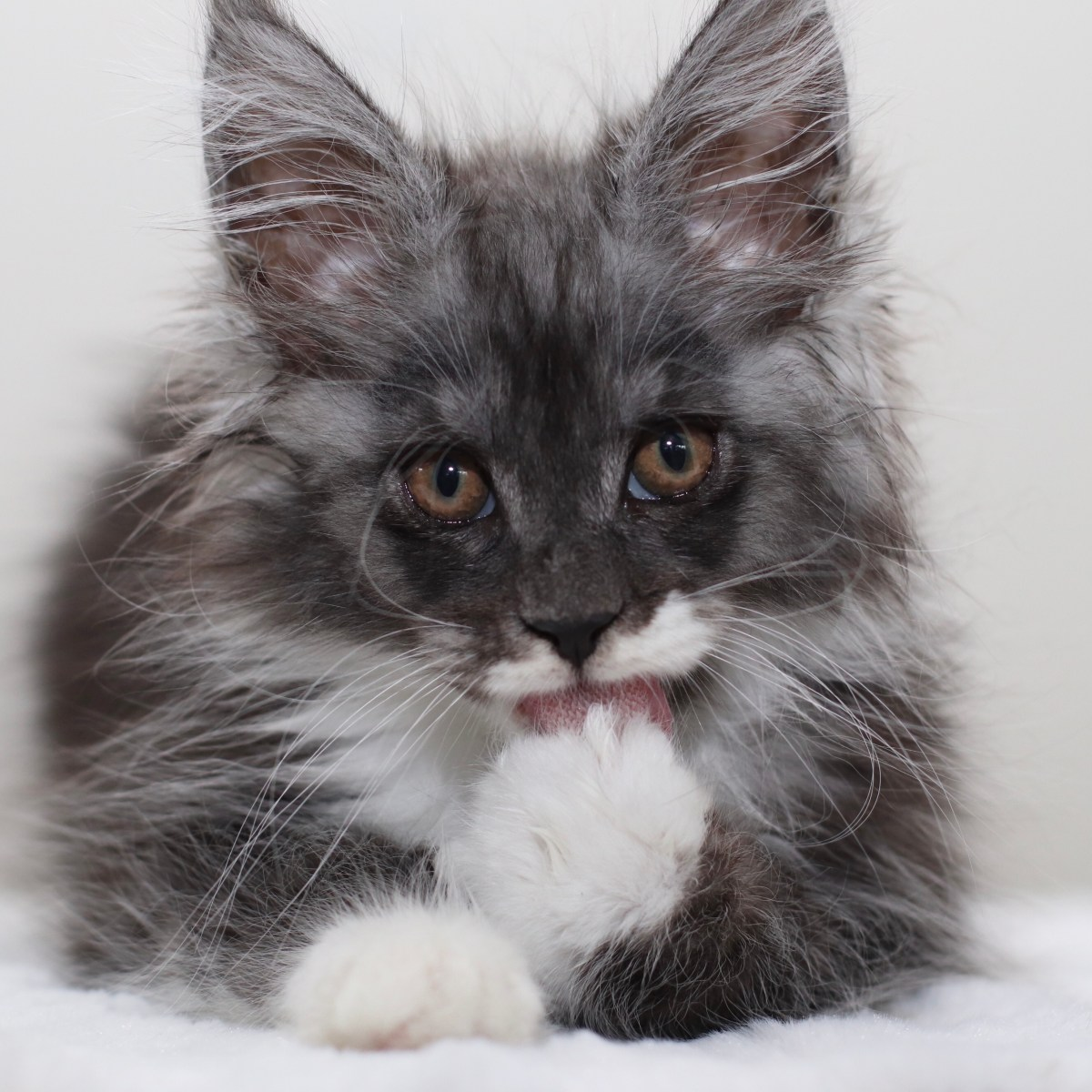 maine coon with a mustache
