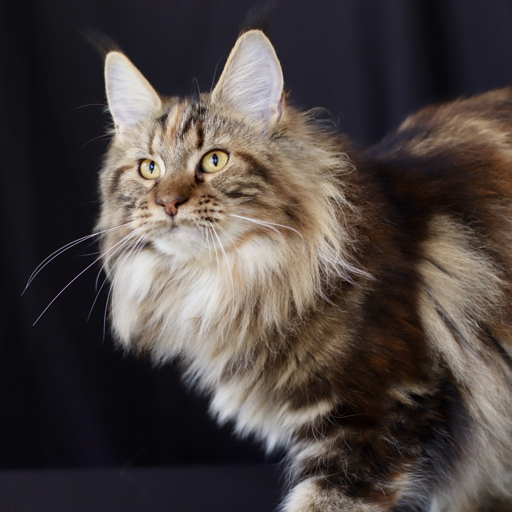 black classic torbie maine coon