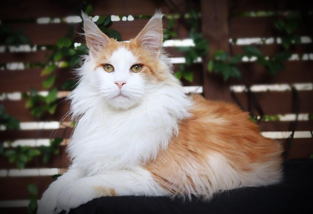 Red smoke Maine coon