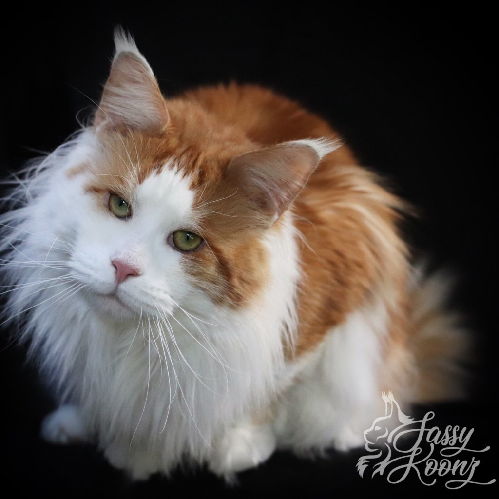 giant maine coon cat