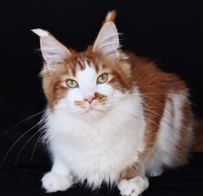 red tabby white female maine coon