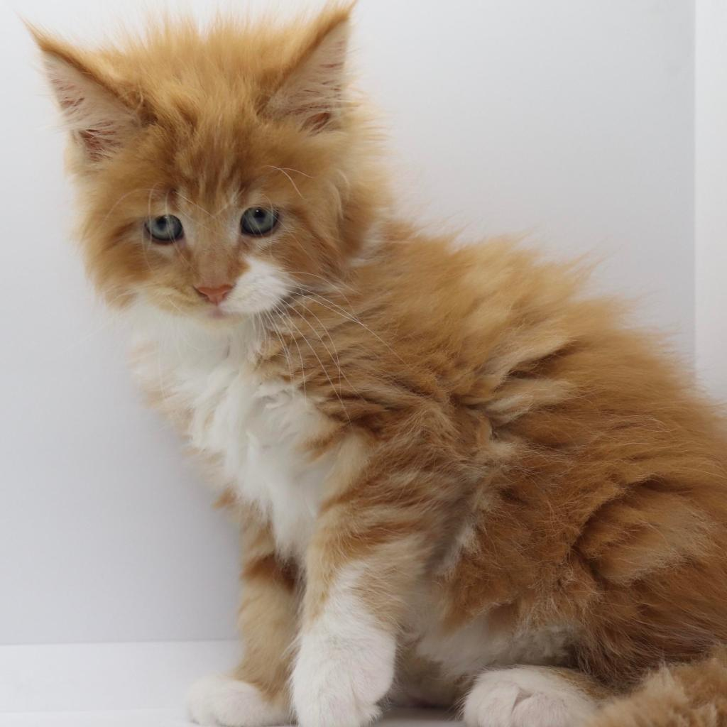 red tabby white maine coon