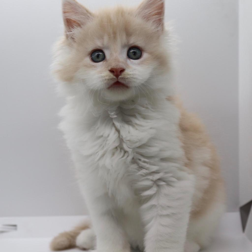 red siler tabby white maine coon