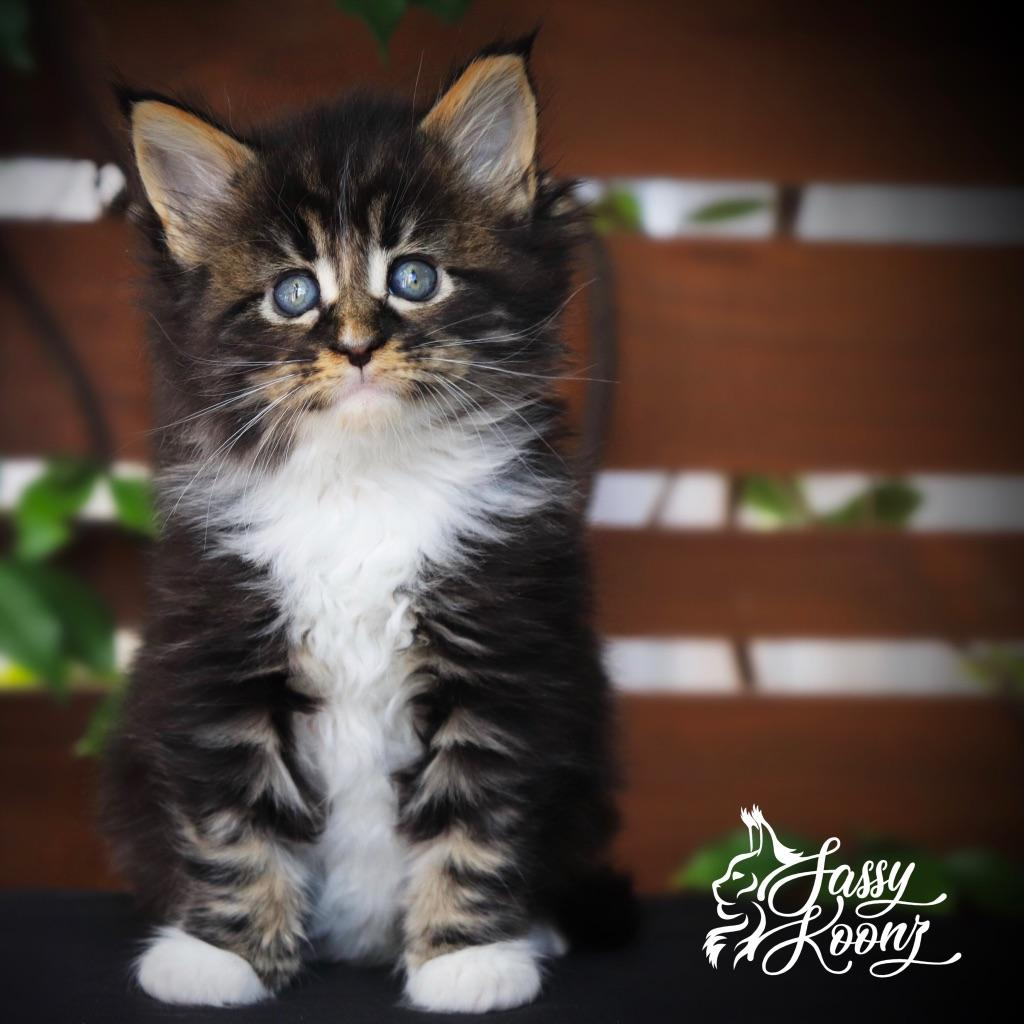 where to buy a maine coon kitten
