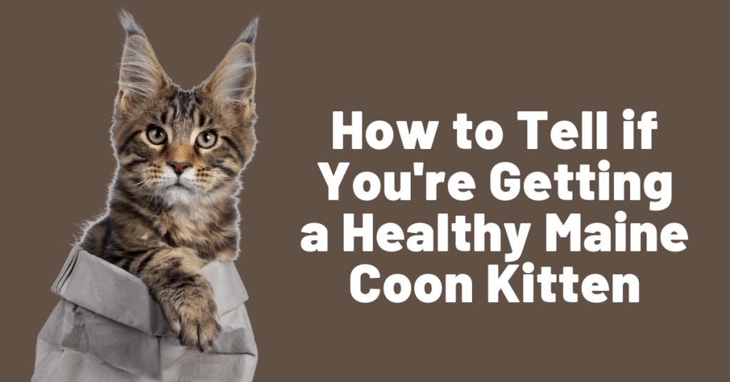 buy a healthy maine coon kitten