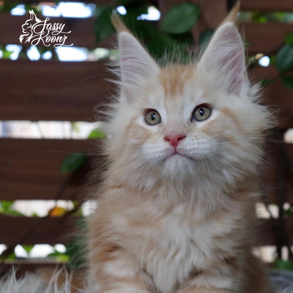 Maine coon kitten with breeding rights