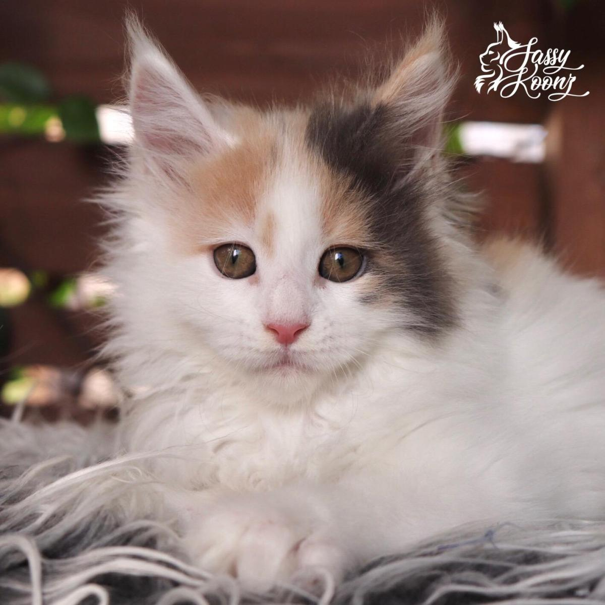 pretty maine coons