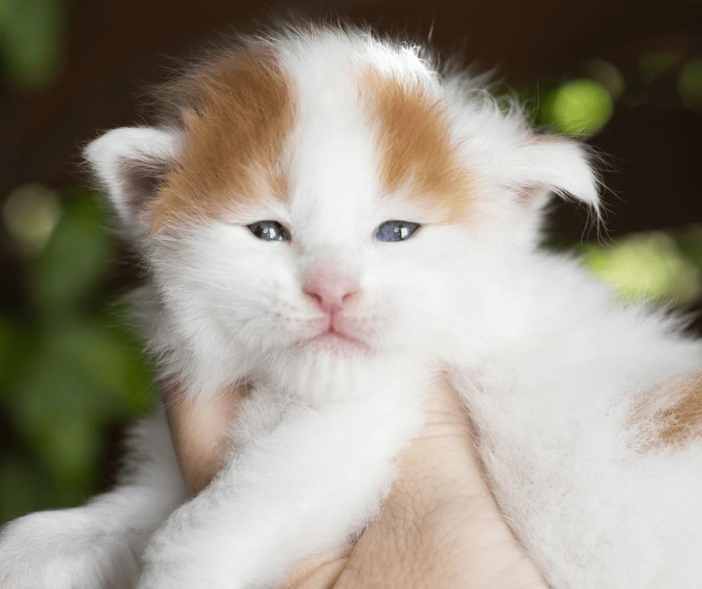 harlequin Maine Coon Kitten