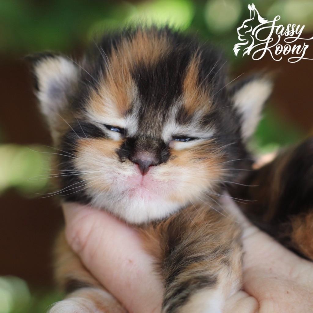 black torbie maine coon kitten