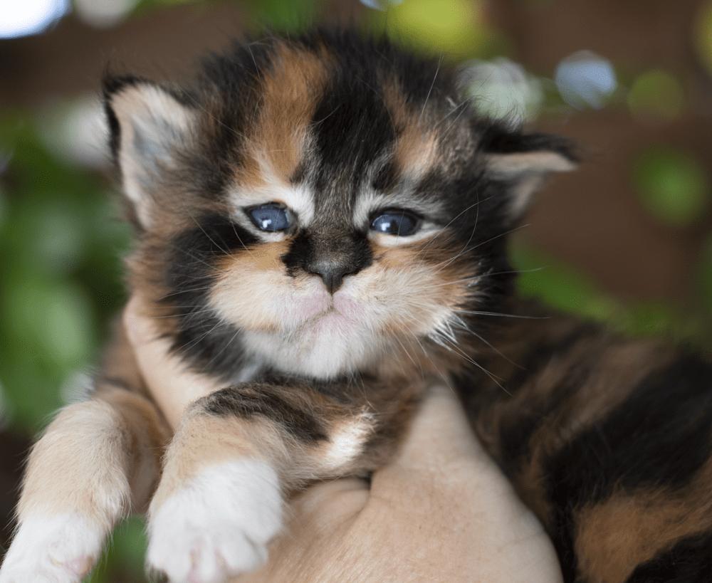 black torbie with white maine coon kitten