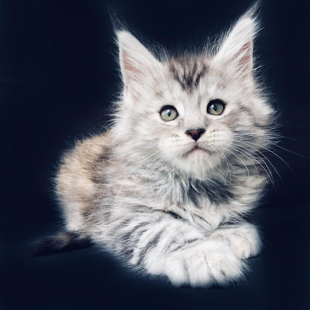Silver maine Coon baby