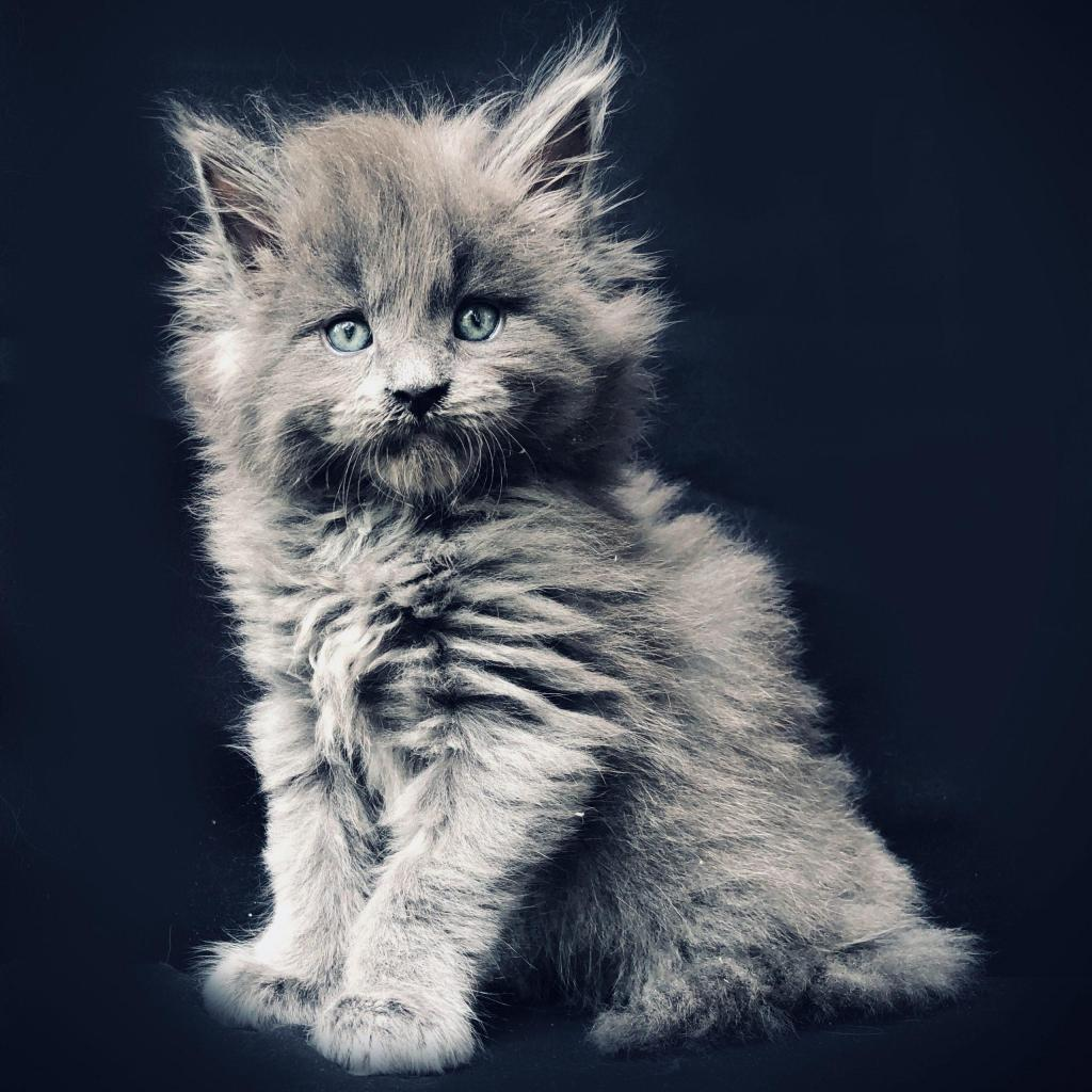 blue maine coon
