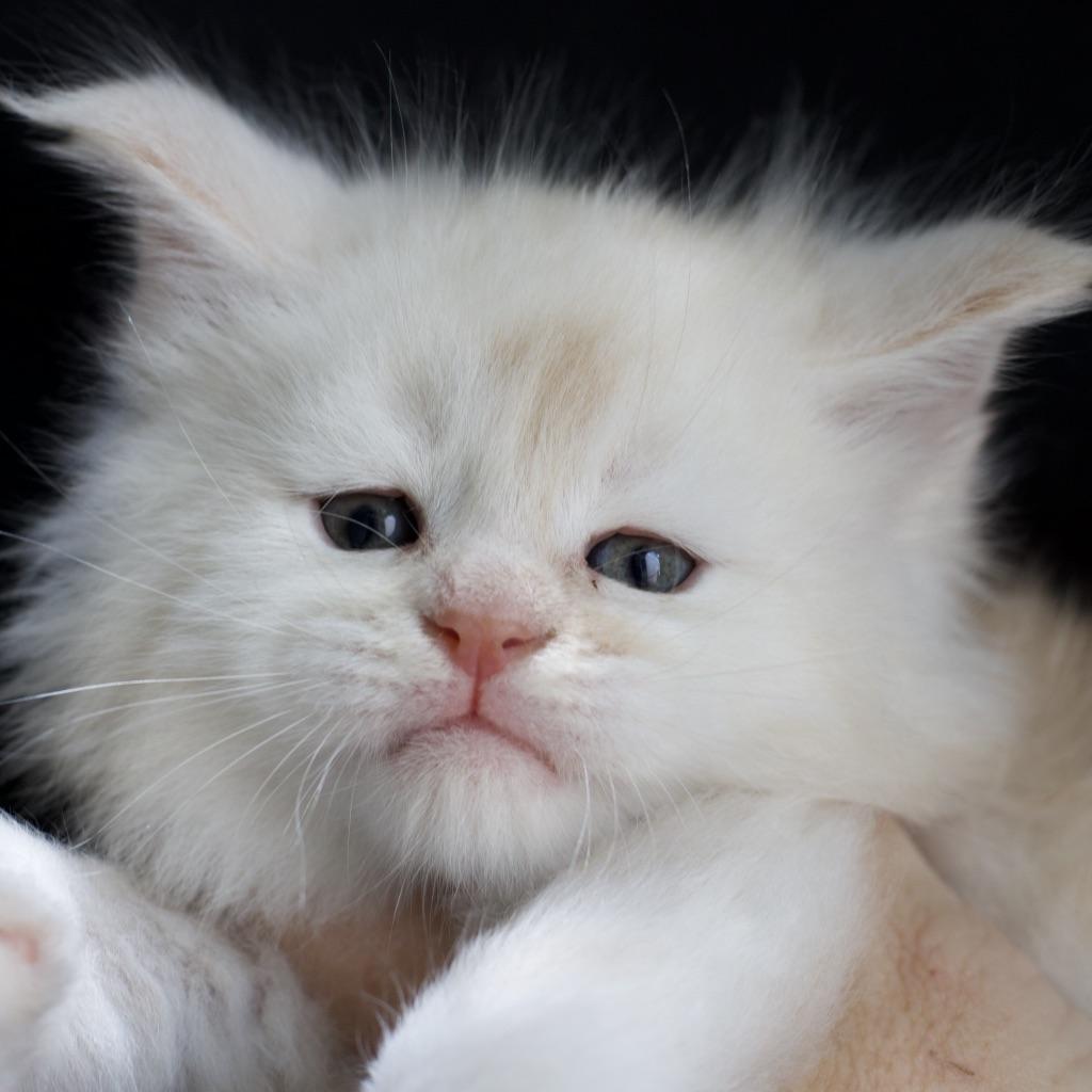 cameo maine coon kitten