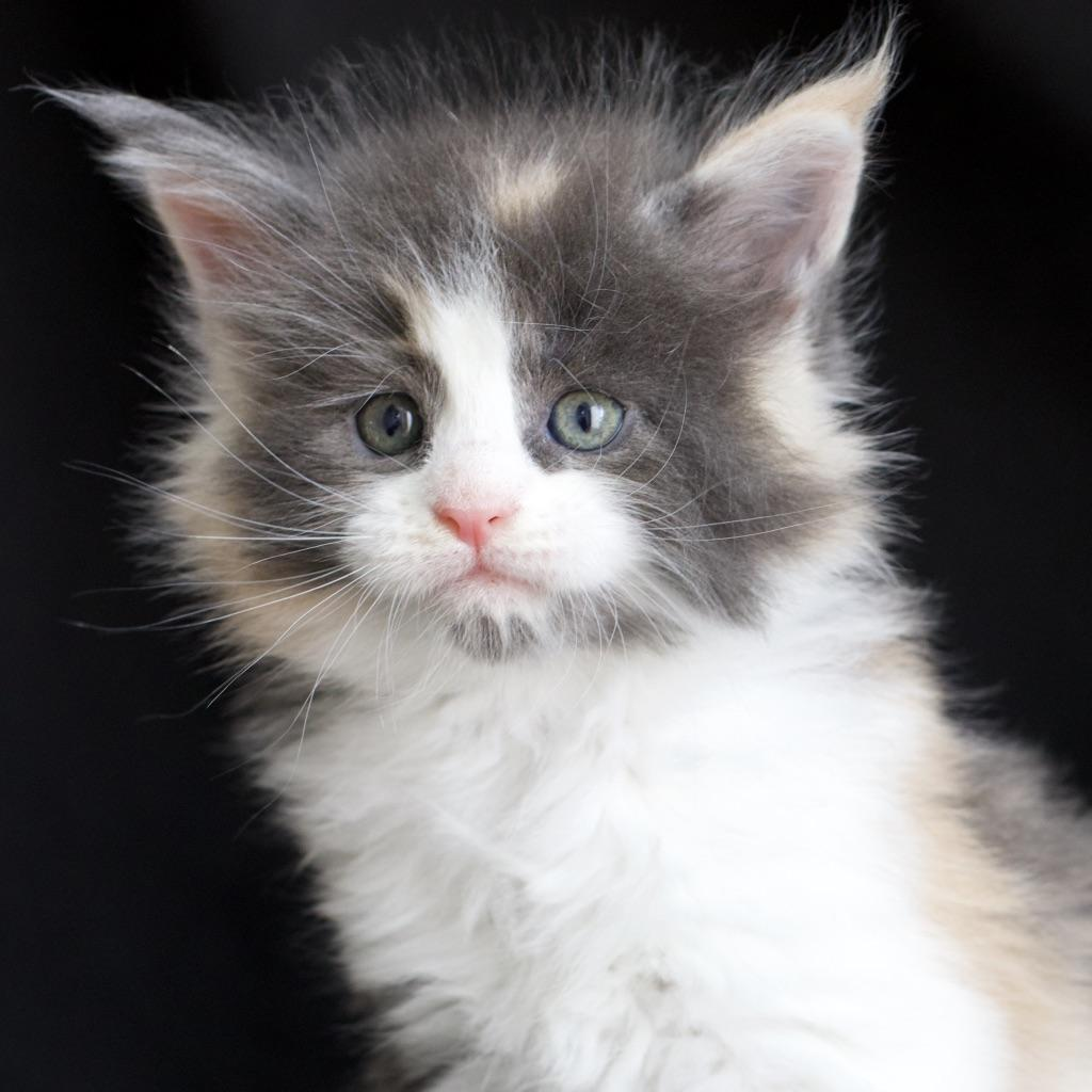 blue calico maine coon baby